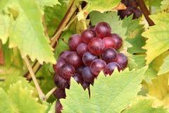 Raisin rouge de vigne Photos stock