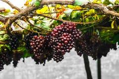 Raisin sur la vigne Photo stock
