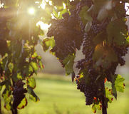 Raisin sur la vigne Photo libre de droits