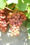 Raisin sur la vigne Photographie stock libre de droits