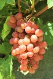 Raisin sur la vigne Photographie stock