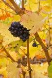 Raisin sur une vigne Photographie stock