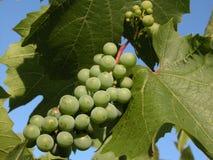Raisin vert Photo stock