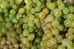 Raisin vert Fond vert de raisins Fruits sains Raisins de cuve savoureux avant moisson Images libres de droits