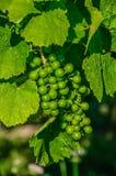 Raisin vert juteux frais de vigne sur la branche de buisson photo stock