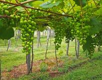 Raisin vert non mûr dans le vignoble galicien photo stock