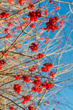Raisined red berries of a Guelder Rose Stock Photos