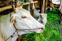 Raising cattle and livestock stock photography