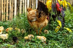 Mother hen feeding in the grass surrounded by her chicks stock photos