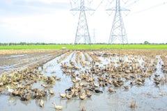 Raising ducks in paddy field Stock Photo