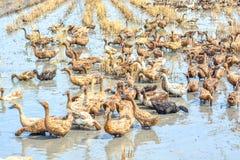 Raising ducks in paddy field Royalty Free Stock Photos
