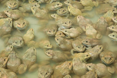 The raising frogs in pond. Frogs pond animal water raising Stock Images