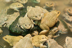 The raising frogs in pond Royalty Free Stock Photography