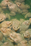 The raising frogs in pond. Frogs pond animal water raising Stock Photo