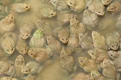 The raising frogs in pond Royalty Free Stock Image