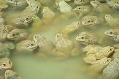 The raising frogs in pond. Frogs pond animal water raising Stock Image