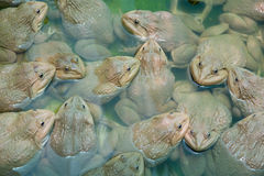 The raising frogs in pond Stock Photo