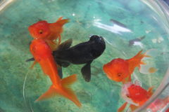 Beautiful goldfish in a fishbowl. Raising goldfish in a fishbowl,It`s very colorful and beautiful Stock Photography