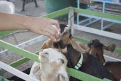 Raising milk goats Stock Photography