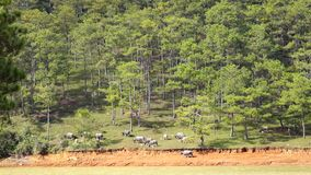 Raising wild boars near Langbiang mountain, Da Lat city, Lam Dong province, Vietnam stock video