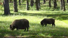 Raising wild boars in pine woods near Langbiang mountain, Da Lat city, Lam Dong province, Vietnam stock footage
