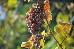 Raisins à Corfou Images stock