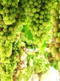 Raisins à la vigne Photographie stock libre de droits