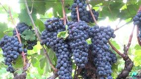 Raisins abondants sur la vigne Changez de plan dedans clips vidéos
