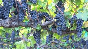 Raisins abondants sur la vigne De bourdonnement un plan rapproché  banque de vidéos