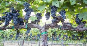 Raisins abondants sur la vigne Un plan rapproché de cuisson banque de vidéos