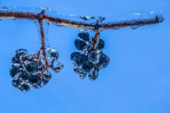 Raisins accrochants après pluie verglaçante Image stock