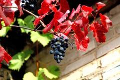 Raisins avec les feuilles rouges photographie stock libre de droits
