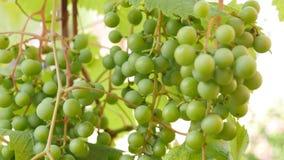 Raisins avec les lames vertes sur la vigne Fruits frais banque de vidéos