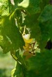 Raisins blancs image libre de droits