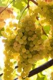 Raisins blancs Photos libres de droits