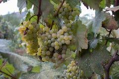 Raisins blancs accrochant sur un buisson dans un beau jour ensoleillé Photos stock