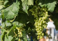 Raisins blancs accrochant sur un buisson dans un beau jour ensoleillé photos libres de droits