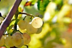 Raisins blancs dans le vignoble images stock