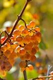 Raisins blancs dans le vignoble photo stock