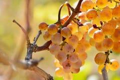 Raisins blancs dans le vignoble photos libres de droits