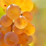 Raisins blancs dans le vignoble photos stock