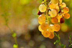 Raisins blancs dans le vignoble en automne image stock