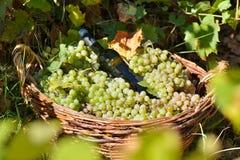 Raisins blancs dans le vignoble en automne Photos stock