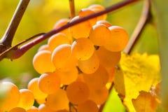 Raisins blancs dans le vignoble en automne Photos libres de droits