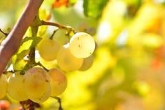 Raisins blancs dans le vignoble en automne Images stock