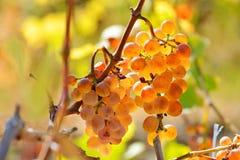 Raisins blancs dans le vignoble en automne photographie stock libre de droits