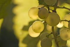 Raisins blancs de Riesling en septembre Images stock