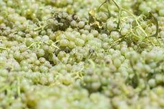 Raisins blancs pour faire le vin photo libre de droits