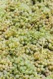 Raisins blancs pour le vin image stock