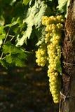 Raisins blancs sur des vignobles dans la région de chianti tuscany image stock